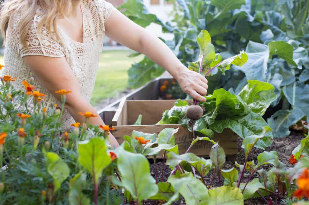 A woman picking a beet from a garden bed