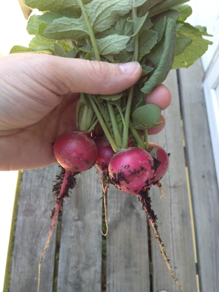 Bunch of small radishes in a woman's hand