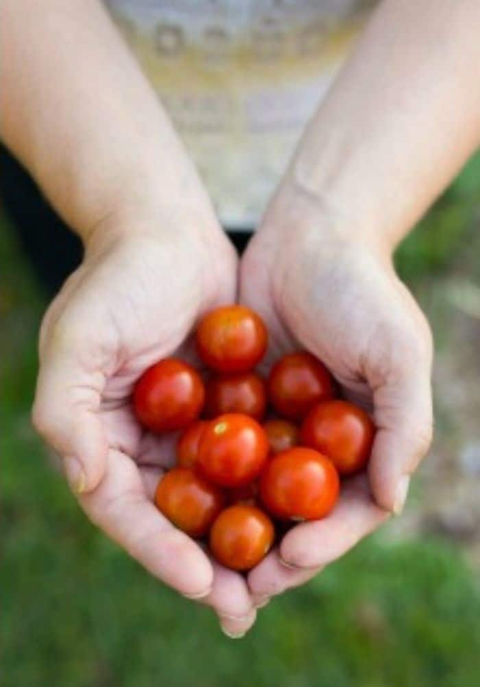 Cherry tomatoes in a woman's hand